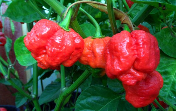 "The Trinidad Moruga ""Scorpion"" Pepper"